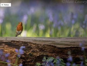 Swangleys Farm Robin